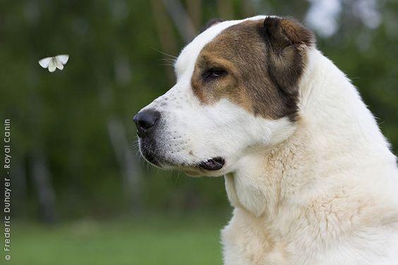 плюсы и минусы собак алабай